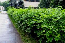Высокие живые изгороди из листопадных деревьев и кустарников