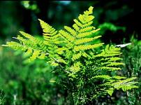 Папоротники. разновидности для озеленения