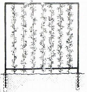 Стенка из вьющихся растений