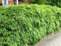 Растения, озеленяющие изгороди